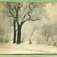 Locust Trees in Winter